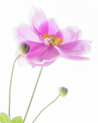 Photograph - Anemone Babies  by Diane Fifield