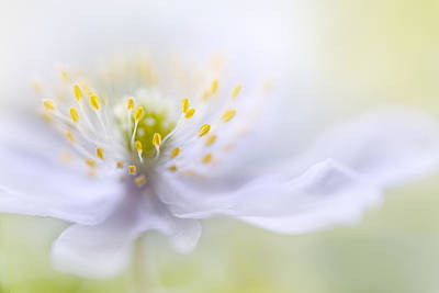 Floral Photograph - Anemone Beauty by Mandy Disher