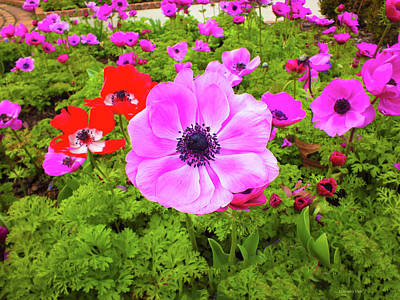Photograph - Anemone City  by Hannah Underhill
