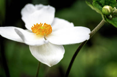 Photograph - Anemone by Cyndy Doty
