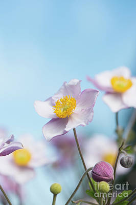 Photograph - Anemone  Elegans Flowers by Tim Gainey