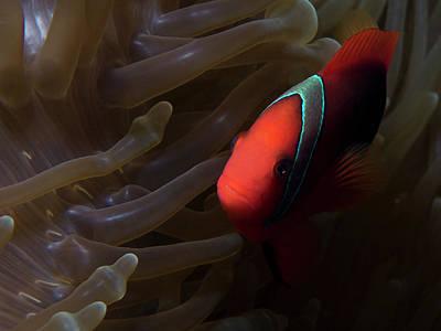 Photograph - Anemone Fish At Home by Mau Riquelme