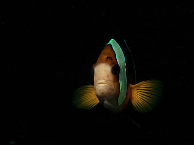Photograph - Anemone Fish Portrait by Mauricio Riquelme