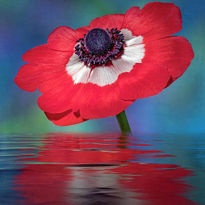 Photograph - Anemone Flower by Susan Candelario