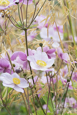 Photograph - Anemone Flowers Amongst Stipa Grass by Tim Gainey