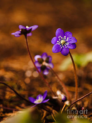 Photograph - Anemone Hepatica by Ismo Raisanen