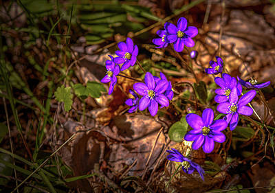 Photograph - Anemone Hepatiea #g3 by Leif Sohlman
