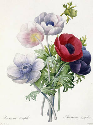 Violet Drawing - Anemone Simple by Pierre Joseph Redoute