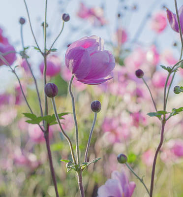 Photograph - Anemone Softness  by Diane Fifield