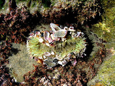 Rock Photograph - Anemone Two by PJ  Cloud