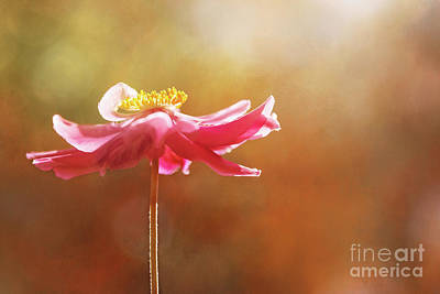 Photograph - Anemone Warmth by Natalie Kinnear