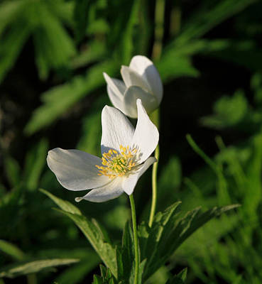 Photograph - Anemone Wildflower On Green by Bonnie Follett