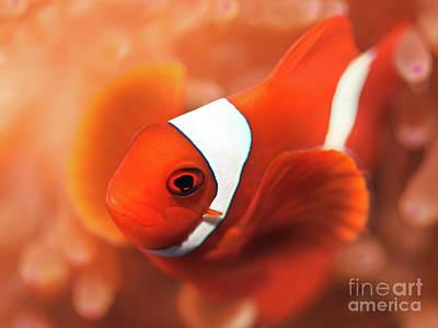 Photograph - Anemonefish by MotHaiBaPhoto Prints