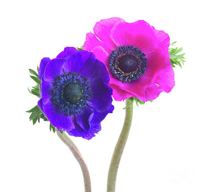 Photograph - Anemones Couple by Anastasy Yarmolovich
