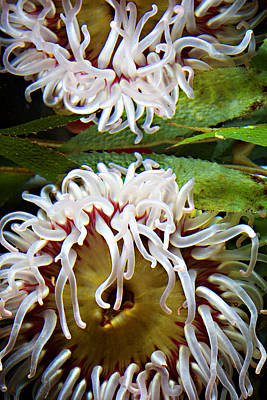 Sea Anenome Photograph - Anenome Reflection by Marilyn Hunt