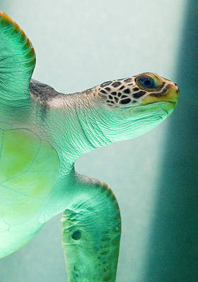 Turtle Photograph - Angel 2 by Skip Hunt