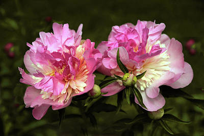 Photograph - Angel Cheek Peony by Jessica Jenney