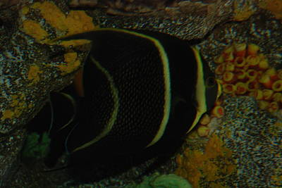 Photograph - Angel Fish by Renee Holder