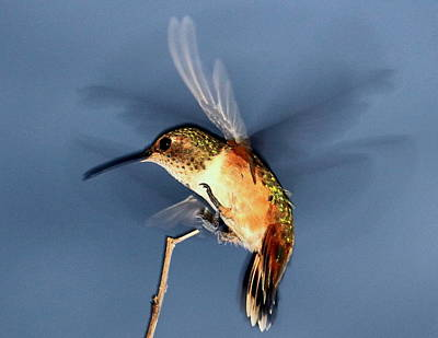Photograph - Angel Morphing Into A Hummingbird by Ron Romanosky