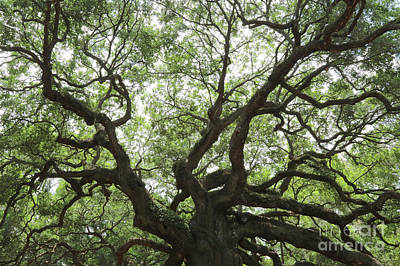 Photograph - Angel Oak Branches by Carol Groenen