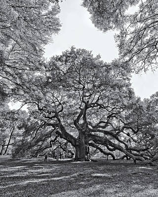 Angel Oak Print by Dave Stegmeir