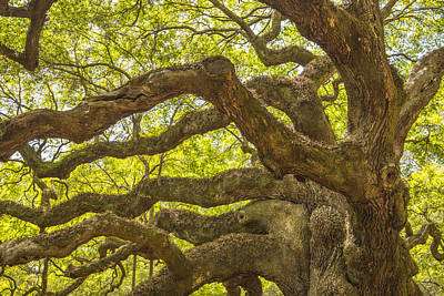 Photograph - Angel Oak I by Steven Ainsworth