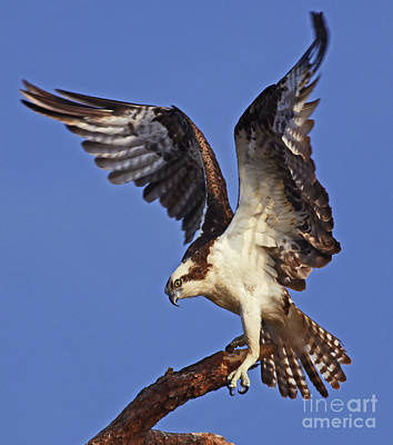 Photograph - Angel Osprey by Larry Nieland