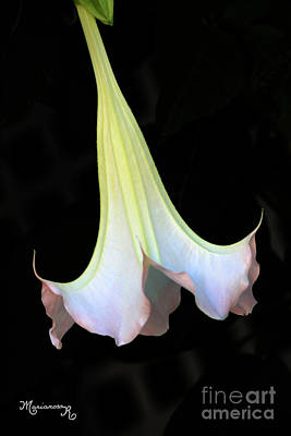 Photograph - Angel Trumpet by Mariarosa Rockefeller