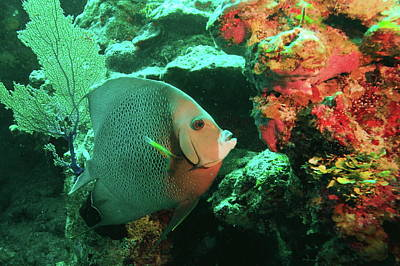 Photograph - Angelfish And Reef Colors by Roupen  Baker