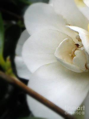 Rhoades Photograph - Angelic Camellia by Mg Blackstock