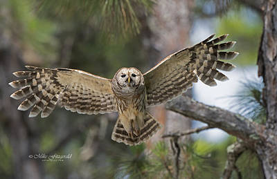 Photograph - Angelic Owl by Mike Fitzgerald
