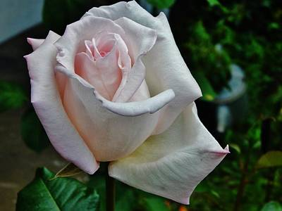 Photograph - Angelic Pink Rose by VLee Watson