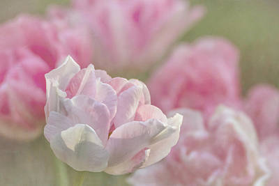 Photograph - Angelique Peony Tulip #4 by Patti Deters
