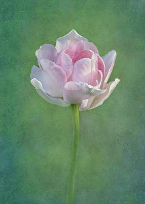 Photograph - Angelique Peony Tulip #5 by Patti Deters