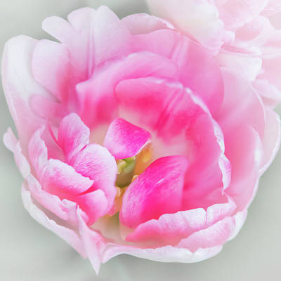 Photograph - Angelique Peony Tulip #7 by Patti Deters