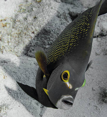 Photograph - Angled Angel Fish by Jean Noren