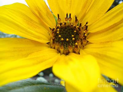 Angled Sunflower Art Print