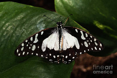 Bath Time Rights Managed Images - Angola white lady butterfly  Royalty-Free Image by Ruth Jolly
