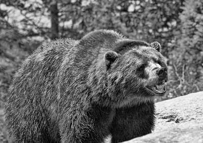 Angry Bear Black And White Art Print