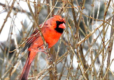 Photograph - Angry Bird by Betty-Anne McDonald