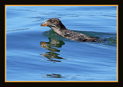 Auklets Photograph - Angry Bird by BYETPhotography