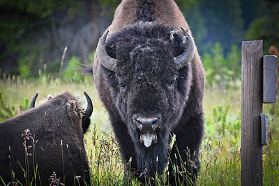 Photograph - Angry Bison by Greg Norrell