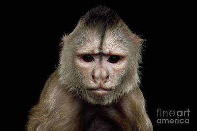 Photograph - Angry Capuchin by Sergey Taran