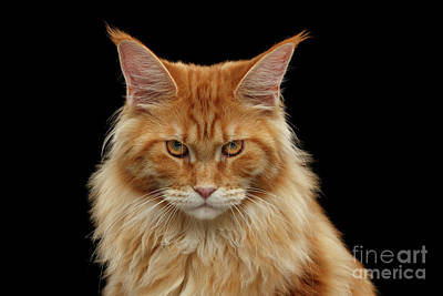 Cat Wall Art - Photograph - Angry Ginger Maine Coon Cat Gazing On Black Background by Sergey Taran