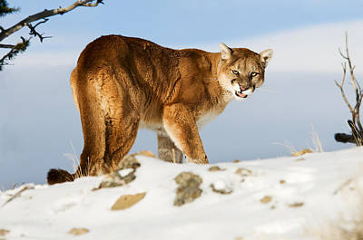 Angry Mountain Lion Art Print