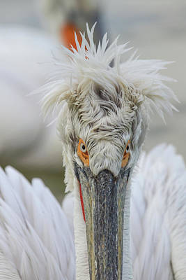 Photograph - Angry Pelican Portrait by Jivko Nakev