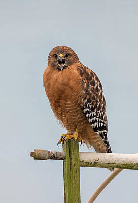 Photograph - Angry Red Shouldered Hawk by Loree Johnson