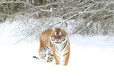 Photograph - Angry Snow Tiger by Steve McKinzie