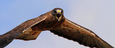 Photograph - Angry Swainson's Hawk by Paul Marto
