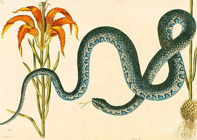 Zoology Painting - Anguis, The Wampum Snake by Mark Catesby